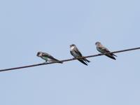 渡り途中のショウドウツバメ - コーヒー党の野鳥と自然パート3