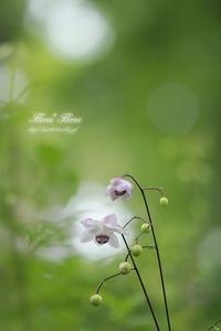 ワルツ - Flores*Flores