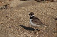 コチドリ - くろせの鳥