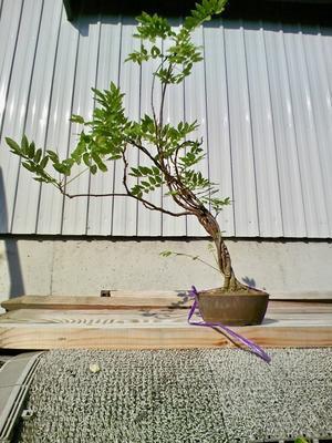 藤実生苗、夏の様子 - 盆栽便り