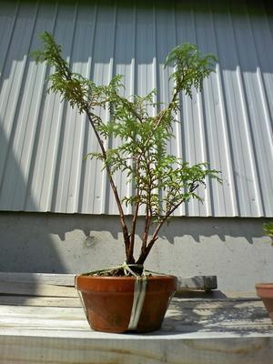 挿し木の檜苗 - 盆栽便り