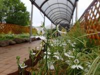 もうひとつの「市花さぎ草展」 - 手柄山温室植物園ブログ 『山の上から花だより』
