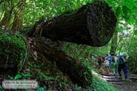 倒木とキツネノカミソリと登山者 - Mark.M.Watanabeの熊本撮影紀行