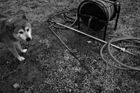夏毛のNaviは濡れネズミだが・・・ - Yoshi-A の写真の楽しみ