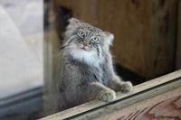 11月のマヌルネコ~ロータスとカナダヤマアラシ(埼玉県こども動物自然公園 November 2018) - 続々・動物園ありマス。