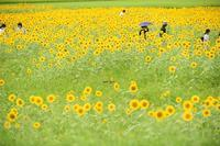ひまわり畑で - 一歩々々 ~いっぽいっぽ~