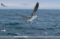 大海原 - 野鳥 飛翔フォト