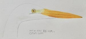 #野鳥スケッチ #ネイチャー・ジャーナル 『大鷺』Ardea alba -