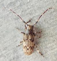 #甲虫 #カミキリムシ 『長胡麻斑髪切虫』 Mesosa longipennis - 自然感察 *nature feeling*
