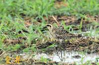 休耕田の水鳥、毎年この田んぼにはこのような水鳥が入ります、稀に希少なのが……。誠 - 皇 昇