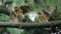 RWC2019までちょうど1ヶ月! - Life with Birds 3