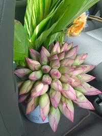 蓮の花の季節 - Blue Lotus