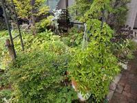 雨つづき - natural garden~ shueの庭いじりと日々の覚書き