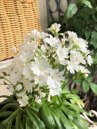 レウィシアLOVE&リピしたいエキナセア - ペコリの庭 *