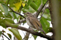 ヒヨドリ幼鳥 - 風のささやき