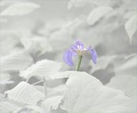 白馬五竜高山植物園のアヤメ - 光 塗人 の デジタル フォト グラフィック アート (DIGITAL PHOTOGRAPHIC ARTWORKS)