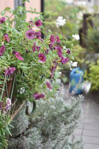 カリブラコアとペチュニア - 小さな庭 2