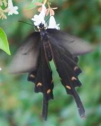 #蝶 #チョウ 『尾長揚羽蝶』 Papilio macilentus - 自然感察 *nature feeling*