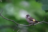 寒い地方のカワラヒワ - 野鳥公園