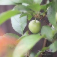 *姫りんご* - HANA*HANA