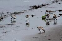 トウネン石狩の浜辺で - 今日の鳥さんⅡ
