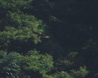 クマタカ幼鳥:谷間の奥で2019 - バード・アイ・ライフ