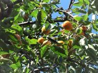 柿が落ちてくる - だんご虫の花