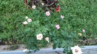 サマーレディとライラックビューティ - うちの庭の備忘録 green's garden