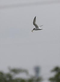 コアジサシ:飛翔・・・ - 赤いガーベラつれづれの記