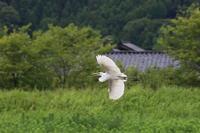 邑知潟の野鳥 - SWAN