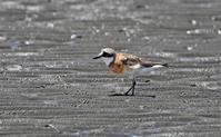 メダイチドリにチュウシャクシギ。 - 季節の野鳥~Wildbirds archives