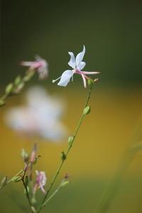 暑さとは関係ないですが白い小さな花。 - 平凡な日々の中で