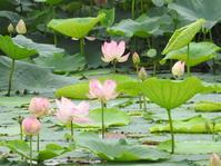 蓮の花咲く大沼① - *la nature*
