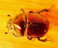 #甲虫 #コガネムシ 『大雪隠黄金虫』 Phelotrupes auratus - 自然感察 *nature feeling*