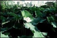 不忍池 -7 - Camellia-shige Gallery 2