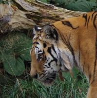 8月21日の円山動物園①アジア・アフリカ・ゾーンとオオカミ - 黄金絹毛鼠(コガネキヌゲネズミ)