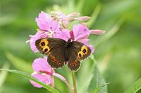 ベニヒカゲ秋の高原の風物詩 - 蝶のいる風景blog