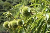 日本人にとっては大切な食糧であった、クリ - 神戸布引ハーブ園 ハーブガイド ハーブ花ごよみ