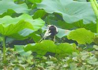 足指が非常に長く、水草の上を歩けるレンカク ② - なんでもブログ