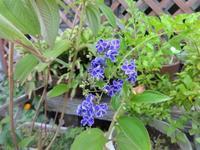鉢植えの青い花 - だんご虫の花