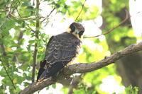 チゴハヤブサ - 北の大地の野鳥たち