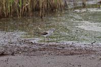 同定に自信のない鳥に色々会った~今週のウトナイ湖 + さっぽろ野鳥観察手帖 - やぁやぁ。