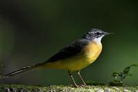 キセキレイさん - 鳥と共に日々是好日