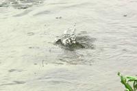 N川の幼鳥カワセミ近況。 - 小川の野鳥達