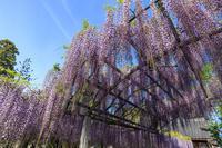 三大神社の藤 - 花景色-K.W.C. PhotoBlog