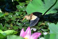 蓮池のヨシゴイ - 気ままな生き物撮り Ⅱ