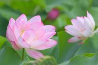 蓮 13奈良県 - ty4834 四季の写真Ⅱ