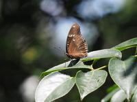 リュウキュウムラサキの占有行動 - 蝶超天国