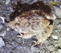 #カエル 『土蛙』  Rana rugosa - 自然感察 *nature feeling*