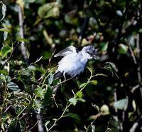 サンショウクイ幼鳥 - 打出頑爺の鳥探し